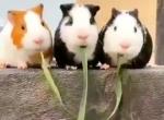 Meerschweinchen essen selben Grashalm