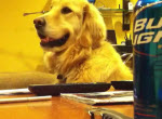 Golden Retriever liebt Gitarrenmusik